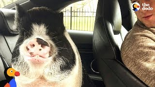 Download Little Pig Is The Best Son | The Dodo Video