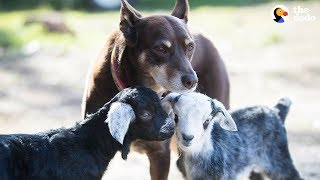 Download Dog Helps Her Mom Take Care Of All The Animals At Their Sanctuary - RUBY   The Dodo Video