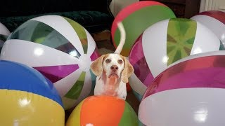 Download Beach Ball Birthday Surprise for Cute Dog Maymo! Video