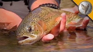 Download Rainbow Trout Rescue Mission! Video