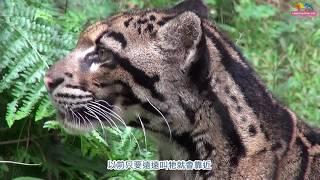 Download 永別了雲豹奶奶「雲新」 查緝入動物園度一生 Video