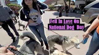 Download GOOD BOY! Siberian Husky Attracting Women On National Dog Day 2017 Video
