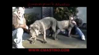 Download Neapolitan Mastiff Cinciripni's Video