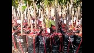 Download 8 loại giống cây ăn quả kinh tế cao Video