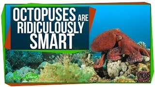 Download Octopuses Are Ridiculously Smart Video