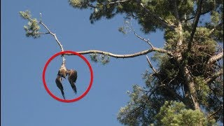Download No One Helped This Poor Eagle Dangling from a Tree But What an Army Vet Did Next Astonishing Video