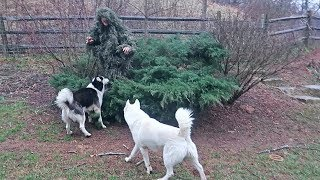 Download Ghillie Suit Hide and Seek with My Dogs 2 Video
