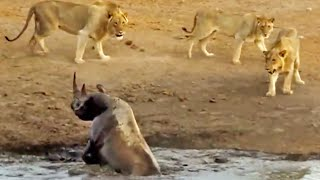 Download 3 Lions Attack Black Rhino That's Stuck in Mud Video