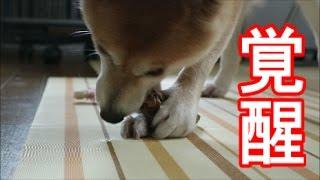 Download 柴犬小春 鹿をかじって目覚めた野生!Heart of the Wilds Video