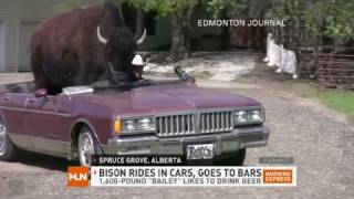 Download HLN: Beer drinking bison rides shotgun Video