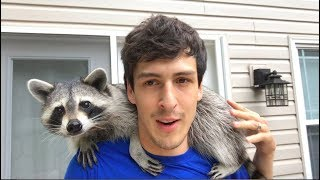 Download Living With A Raccoon: 1 Year Update Video