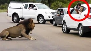 Download Lion Shows Tourists Why You Must Stay Inside Your Car - Latest Wildlife Sightings Video