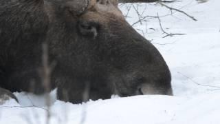 Download Kapitalny byk łosia - zima 13/14 Video