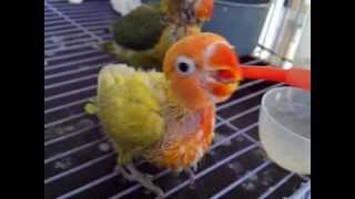 Download Hungry baby lovebird Video