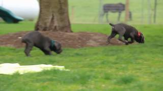 Download Cane Corso Puppies For Sale Ivan Lapp Video