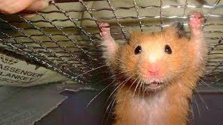 Download Funny Hamster Compilation Video