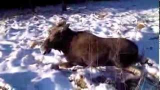 Download Как мы спасали Лося! Video