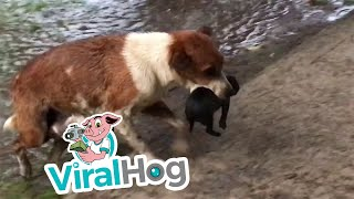 Download Mother Dog Carries Wet Puppies to Safety || ViralHog Video