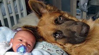 Download German Shepherd Protects Babies and Kids Compilation Video