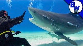 Download Tiger Shark FACE-OFF! Video