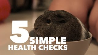 Download 5 Simple Health Checks for Your Guinea Pig | MediCavy Monday Video