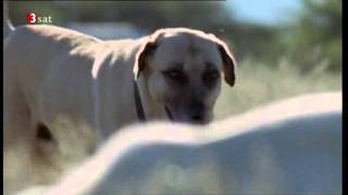 Download Herdenschutzhund verteidigt Herde gegen Gepard Kangal Video