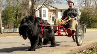 Download Newfoundland Dog Pulling Owner on COOLEST Riding Dog Cart Ever! Video