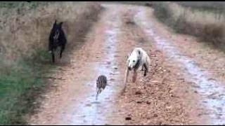 Download 11.- Galgos vs Liebres XI - Greyhounds vs Hares XI (Otra buena carrera) Video