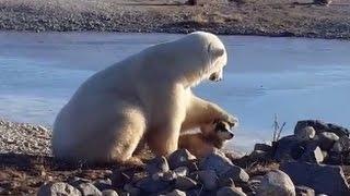 Download Wild Polar Bear Pets Dog Video