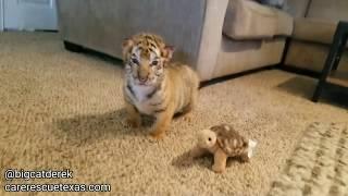 Download BABY TIGERS! | WATC 520 Video