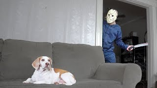 Download Dog Domesticates Jason Voorhees: Funny Dogs Maymo & Penny Video