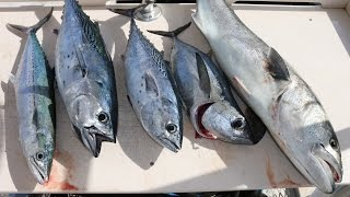 Download Multispecies Fishing- Sailfish, Tuna, Mackerel, Bluefish! (Catch and Cook) Video