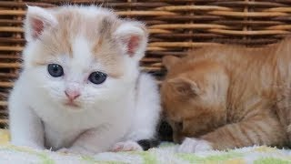 Download 保護して家族になったかわいい三毛子猫の成長記録 Video
