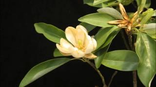 Download Magnolia flower Video