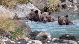 Download Haines Alaska; Grizzlies, Brown Bears, many many playful cubs! Video