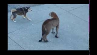 Download Dogs VS Mountain Lion! Video