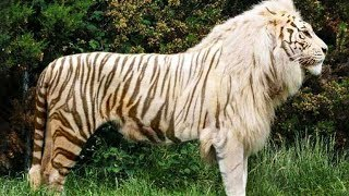 Download 10 Awesome Hybrid Animals That Actually Exist Video