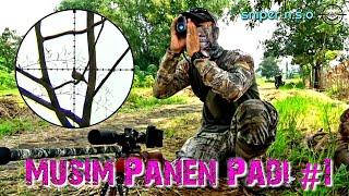 Download Part | 8 Berburu Tekukur Edisi Musim Panen Padi #1(Sniper BJNG vs DKA 2) Video