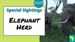 Download Wonderful elephant herd sighting (bull elephant rolls down a hill) Video