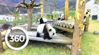 Download Panda Playtime (360 Video) Video