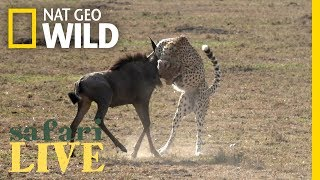 Download What Does It Take for a Cheetah to Hunt Wildebeest? | Nat Geo Wild Video