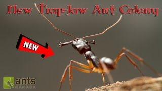 Download MY NEW TRAP-JAW ANT COLONY! | HELP US NAME THEM! Video