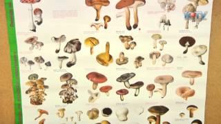 Download Jak zbierać grzyby? I co najważniejsze - jakie!? Video