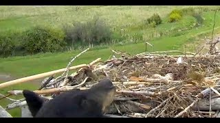 Download Black Bear climbs to Osprey nest. Charlo Ospreys. 06.35 / 20 May 2019 Video