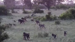 Download Djuma: Baboons waking up for the morning - 05:02 - 01/17/2020 Video
