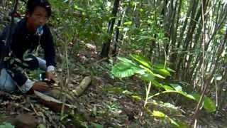 Download Kicau Mania - AKSI Memikat Murai Batu Di Hutan Video