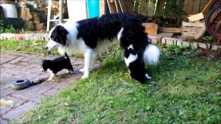 Download Cutest Border Collie Puppies in the World Video
