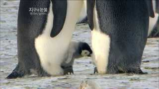 Download [뽀뽀뽀동물원] 알에서 깨어나는 새끼팽귄 - Baby penguins hatch from their eggs Video