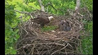 Download 6/23/16 Decorah eagle brings a raccoon to nest. Eaglet ignores it and continue to eat cat. Video