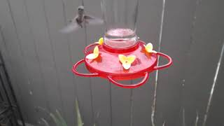 Download Bella Hummingbird Nest Cam 08-09-2018 13:13:28 - 14:13:28 Video